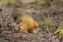 Αρκετά σισιλιάνο κοτόπουλο νεραγκουλών Στοκ φωτογραφία με δικαίωμα ελεύθερης χρήσης