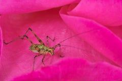Αρκετά στο ροζ - νέο έντομο γρύλων στο ροδαλό λουλούδι Στοκ εικόνες με δικαίωμα ελεύθερης χρήσης