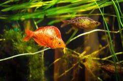 Αρκετοί κόκκινο rainbowfish Στοκ Εικόνα
