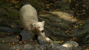 Αρκούδα κρέμας younge στοκ εικόνα με δικαίωμα ελεύθερης χρήσης