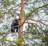 Αρκούδα-Bear-cubs έχουν αναρριχηθεί σε ένα δέντρο πεύκων Στοκ Εικόνα