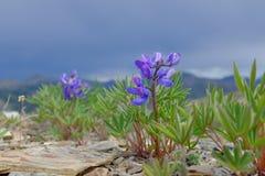αρκτικά λουλούδια Στοκ Εικόνες