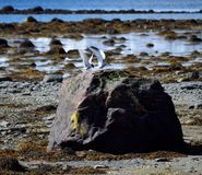 Αρκτικά πουλιά στερνών που προσγειώνονται στο λίθο ακροθαλασσιών Στοκ Φωτογραφίες