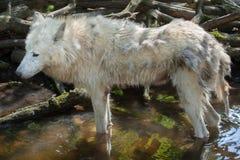 Αρκτικά arctos Λύκου Canis λύκων Στοκ φωτογραφία με δικαίωμα ελεύθερης χρήσης