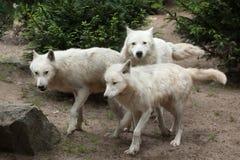 Αρκτικά arctos Λύκου Canis λύκων Στοκ φωτογραφίες με δικαίωμα ελεύθερης χρήσης