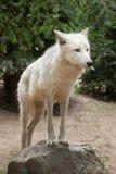 Αρκτικά arctos Λύκου Canis λύκων Στοκ Φωτογραφία