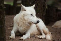 Αρκτικά arctos Λύκου Canis λύκων Στοκ Εικόνες