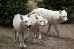 Αρκτικά arctos Λύκου Canis λύκων Στοκ Εικόνα