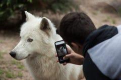 Αρκτικά arctos Λύκου Canis λύκων Στοκ εικόνες με δικαίωμα ελεύθερης χρήσης