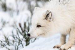 Αρκτική αλεπού με τη χειμερινή γούνα, που κοιτάζει στο αριστερό, το χιόνι και τους θάμνους στο υπόβαθρο Αρσενικό ζώο Στοκ φωτογραφία με δικαίωμα ελεύθερης χρήσης