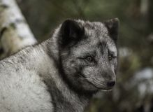 Αρκτική αλεπού στο θερινό παλτό στοκ εικόνες με δικαίωμα ελεύθερης χρήσης
