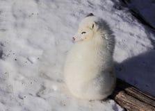 αρκτική αλεπού Στοκ Εικόνες