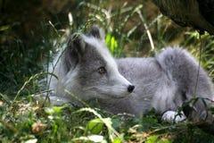 αρκτική αλεπού Στοκ εικόνες με δικαίωμα ελεύθερης χρήσης