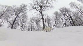 Αρκτική αλεπού που τρέχει προς τη κάμερα φιλμ μικρού μήκους