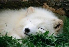 Αρκτική αλεπού ύπνου Στοκ Φωτογραφία