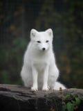Αρκτική αλεπού στοκ εικόνα με δικαίωμα ελεύθερης χρήσης