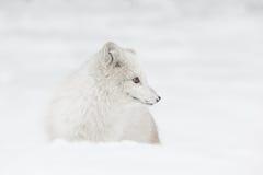 Αρκτική αλεπού Στοκ Φωτογραφία