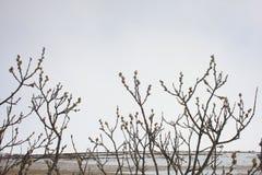 Αρκτική ιτιά - arctica Salix Στοκ εικόνα με δικαίωμα ελεύθερης χρήσης