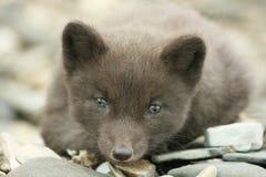 αρκτική cub αλεπού Στοκ Φωτογραφίες