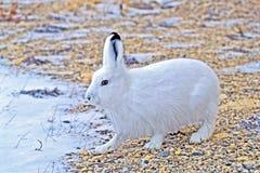Αρκτικοί λαγοί το χειμώνα Lepus arcticus Στοκ φωτογραφία με δικαίωμα ελεύθερης χρήσης