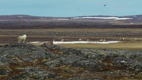 Αρκτικοί λύκοι, τα τρεξίματα λύκων στο κοπάδι, προσπαθώντας να κατακσει αδύνατο ή τον αργό Βόρειος Καναδάς στοκ φωτογραφία