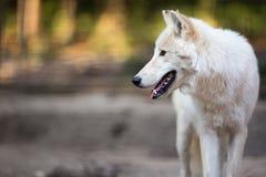 Αρκτικοί λύκος & x28 Λύκος Canis arctos& x29  πολικός λύκος aka ή άσπρος λύκος Στοκ φωτογραφία με δικαίωμα ελεύθερης χρήσης