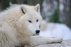 αρκτικός άσπρος λύκος Στοκ Φωτογραφίες