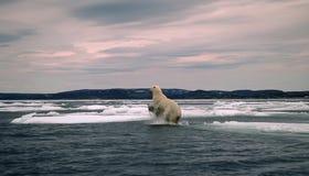 αρκτικός αντέξτε την καναδ Στοκ φωτογραφία με δικαίωμα ελεύθερης χρήσης