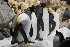 Αρκτικός βασιλιάς penguin, ομάδα penguins Στοκ Εικόνα
