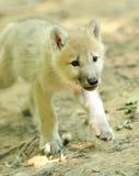 αρκτικός λύκος κουταβιών Στοκ εικόνα με δικαίωμα ελεύθερης χρήσης
