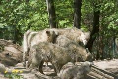 αρκτικός λύκος πακέτων Στοκ εικόνες με δικαίωμα ελεύθερης χρήσης