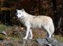 αρκτικός λύκος Στοκ Εικόνες