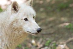 αρκτικός λύκος Στοκ φωτογραφίες με δικαίωμα ελεύθερης χρήσης