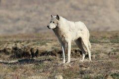 αρκτικός λύκος Στοκ Φωτογραφία