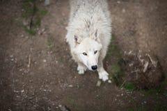 Αρκτικός πολικός λύκος aka λύκων (arctos Λύκου Canis) ή άσπρος λύκος Στοκ εικόνες με δικαίωμα ελεύθερης χρήσης