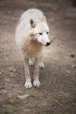 Αρκτικός πολικός λύκος aka λύκων (arctos Λύκου Canis) ή άσπρος λύκος Στοκ φωτογραφία με δικαίωμα ελεύθερης χρήσης