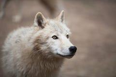 Αρκτικός πολικός λύκος aka λύκων (arctos Λύκου Canis) ή άσπρος λύκος Στοκ Εικόνα