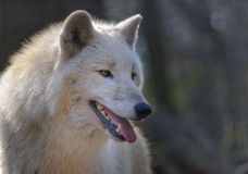 αρκτικός λύκος ένα δάσος Στοκ εικόνες με δικαίωμα ελεύθερης χρήσης