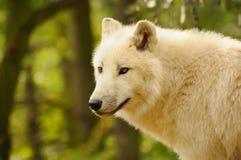 αρκτικός λύκος Λύκου canis arctos Στοκ Εικόνες