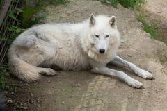 αρκτικός λύκος Λύκου canis arctos Στοκ εικόνες με δικαίωμα ελεύθερης χρήσης