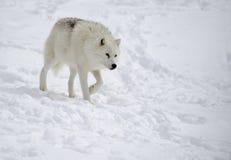 Αρκτικός λύκος (arctos Λύκου Canis) Στοκ Εικόνες