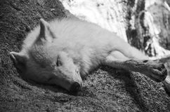 αρκτικός λύκος Στοκ εικόνα με δικαίωμα ελεύθερης χρήσης