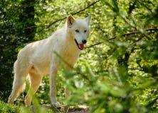 αρκτικός λύκος στοκ φωτογραφία με δικαίωμα ελεύθερης χρήσης
