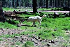 αρκτικός λύκος στοκ εικόνες με δικαίωμα ελεύθερης χρήσης