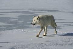 Αρκτικός λύκος, arctos Λύκου Canis Στοκ Εικόνες
