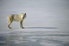 Αρκτικός λύκος, arctos Λύκου Canis Στοκ Εικόνα