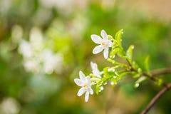 Αρκτικό λουλούδι antidysenterica χιονιού ή wrightia Στοκ εικόνες με δικαίωμα ελεύθερης χρήσης