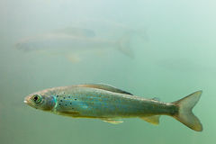 αρκτικό arcticus thymallus υποβρύχιο Στοκ φωτογραφία με δικαίωμα ελεύθερης χρήσης