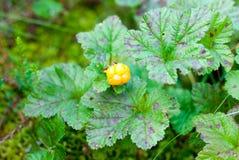 Αρκτικό cloudberry Στοκ εικόνες με δικαίωμα ελεύθερης χρήσης