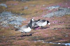 αρκτικό tundra λαβίδων gees στοκ φωτογραφία με δικαίωμα ελεύθερης χρήσης